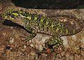 Adult female of Enyalioides binzayedi - ZooKeys-277-069-g009-A.jpg