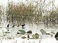 Aenigmatolimnas marginalis, haan en kuikens, Kgomo-kgomo-vleiland, Birding Weto, e.jpg