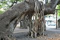 Aerial roots Banyan Tree Park.jpg