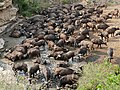 African Buffaloes (Syncerus caffer) drinking ... (31502725984).jpg