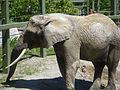 African Elephant (3609555581).jpg