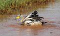 African Wattled Lapwing or Senegal Wattled Plover, Vanellus senegallus at Krugersdorp Game Reserve, Gauteng, South Africa (31205480180).jpg
