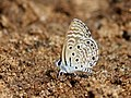 African babul blue Mudpuddling from Melagiri TN 6369.jpg