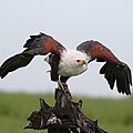 African fish eagle, Haliaeetus vocifer, at Chobe National Park (38727075862).jpg