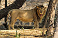 African lion yawning 1.jpg