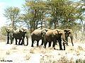 Afrikanische Elefanten (Loxodonta africana).jpg