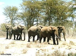 A herd of savanna elephants in Western Africa