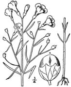 Agalinis tenuifolia drawing.png