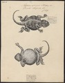 Agama spinosa - 1700-1880 - Print - Iconographia Zoologica - Special Collections University of Amsterdam - UBA01 IZ12700095.tif