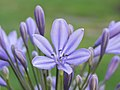 Agapanthus cultivar. Zaailing van Agapanthus Lilac Flash. (d.j.b.) 01.jpg