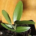 Agathis robusta (Queensland Kauri) seedling II, by Omar Hoftun.jpg
