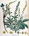 Agrimonia odorata — Flora Batava — Volume v17.jpg
