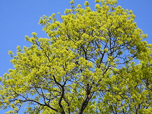 Acer platanoides - Tree in flower