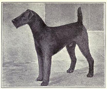 Airedale Terrier Wikipedia