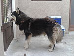 Healthy Alaskan Husky in a good condition.
