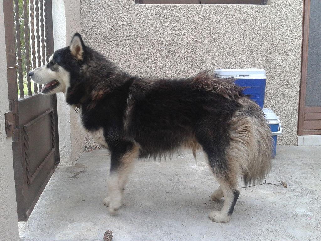File Alaskan Husky 1 Year And 6 Months Old Jpg