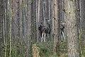 Alces alces 03(js), Biebrza National Park (Poland).jpg