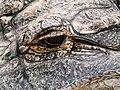 Alligator mississippiensis - Oasis Park - 12.jpg