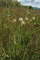 Allium nn PID997-2.jpg