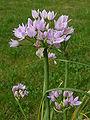 Allium roseum.jpg