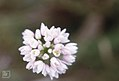 Allium roseum near Casablanca. 1972 (37498195470).jpg