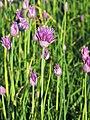 Allium schoenoprasum Szczypiorek 2019-05-17 01.jpg