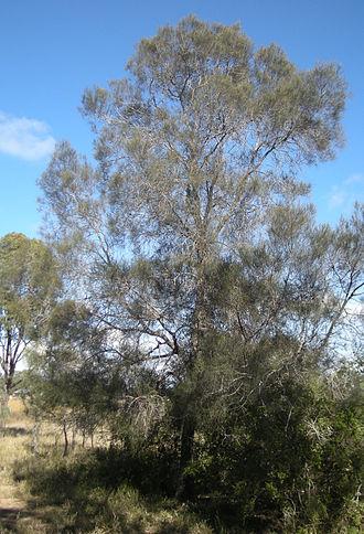 Allocasuarina luehmannii - Image: Allocausarina Ieuhmanii tree