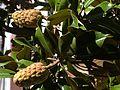 Alm10Magnolienfrüchte.jpg