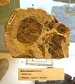 Alnus rostaniana fossil - Botanischer Garten, Dresden, Germany - DSC08487.JPG