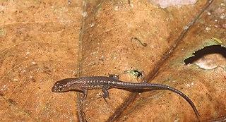 <i>Alopoglossus angulatus</i> species of reptile