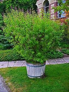 Aloysia Citriodora Wikipedia La Enciclopedia Libre
