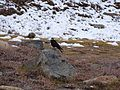 Alpine Chough Pyrrhocorax graculus WTK DSC00114 150920.jpg