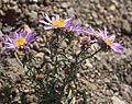 Alpine aster Oreostemma alpigenum.jpg