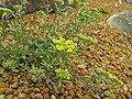 Alyssum montanum1.jpg