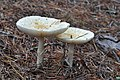Amanita muscaria var. guessowii - Beech Forest, Cape Cod National Seashore - 2014-10-04 - image 4.jpg