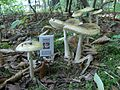 Amanita phalloides old 2.jpg