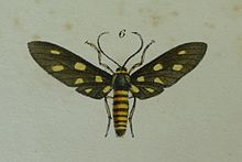 Amata wallacei.jpg