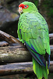 Amazona pretrei -Brazil-8.jpg