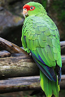 A green parrot with a red forehead, blue-tipped wings, and white eye-spots