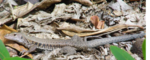Ameiva exsul Puerto Rican Ground Lizard.png
