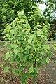 Amelanchier alnifolia kz02.jpg