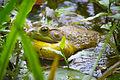 American Bullfrog (Lithobates catesbeianus) (17815275291).jpg