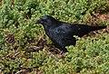 American Crow (45622138611).jpg