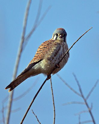American kestrel - Kestrel relaxing in an apple tree.