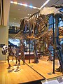 Amherst College Museum of Natural History - IMG 6443.JPG