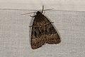 Amphipyra berbera (36368799861).jpg