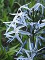 Amsonia orientalis 2010-05-29 04.jpg
