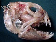 Atlantic wolffish - Wikipedia