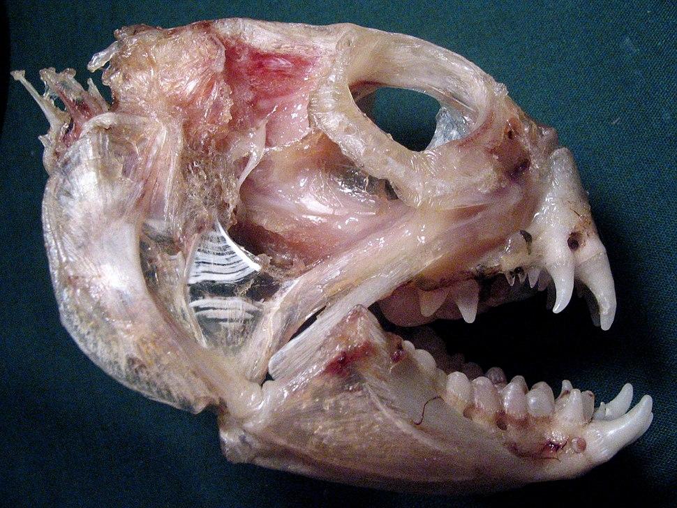 Anarhichas lupus skull Iles de la Madeleine