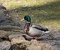Anas platyrhynchos (Male) on the ground.jpg